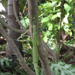 Eurycnema-goliath (Giant Stick Insect) The Goliath stick insect is the 2nd largest stick insect in Australia. They are not easily seen because of their excellent camouflage. When disturbed, the Goliath Stick Insect will display the bright red colour under its wings. The eggs of the Goliath stick insect look like seeds, so that common ants may take them underground, allowing them to hatch in safety.