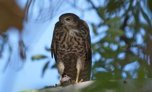 Collared Sparrowhawk with lizard