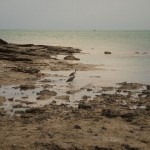 Reef Egrets enjoying the low tide-Broome Jetty Beach