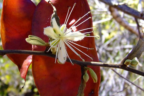 Bush Caper Flower Bauhinia Seed