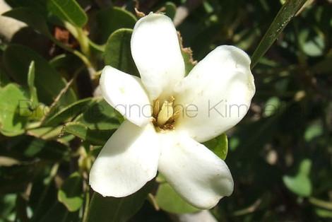Gardenia Pyriformis