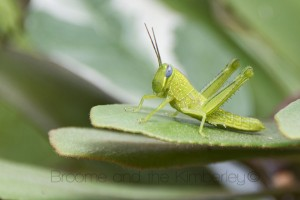 Giant Grasshopper (Valanga irregularis)