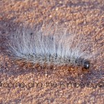 hairy-caterpillar