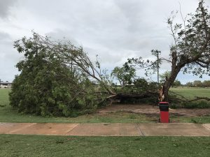Uprooted tree on Male Oval, Chinatown, Broome