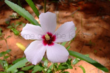 Hibiscus Leptocladus