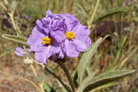 Solanum Cunninghamii