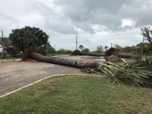 Suicide palms crashed down in Cyclone Hilda