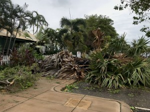 Old fan palm blown over at Matsos